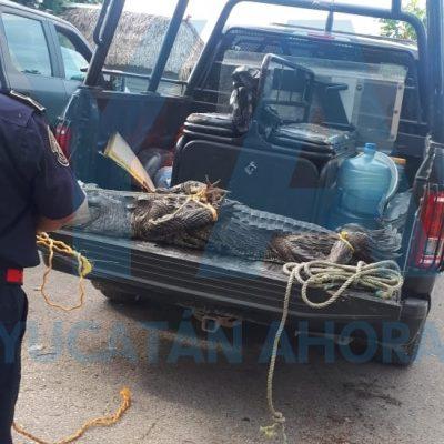 Aparece cocodrilo en un rancho del sur de Yucatán