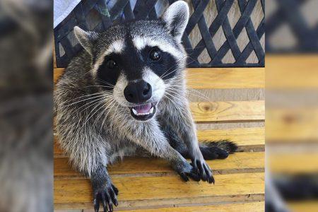 """Piden ayuda para localizar a """"Leonora"""" una mapache extraviada"""
