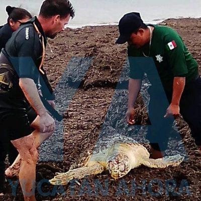 En medio del norte, rescatan tortuga de carey atorada entre anzuelos y cordeles