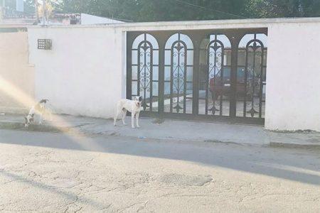 Controlan problema de los pitbulls 'adueñados' de una calle en el centro meridano
