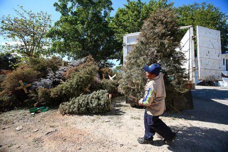 Activan nueve centros de acopio de árboles navideños en Mérida