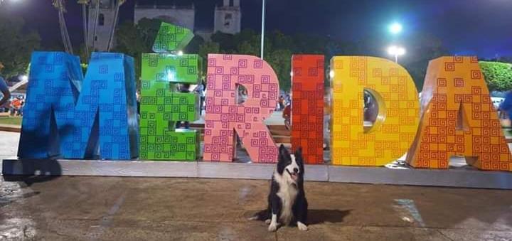 Se extravía agente canino de la SSP Yucatán, héroe en la Ciudad de México
