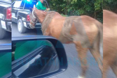Policías capturan un caballo suelto en Progreso