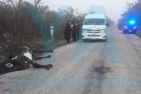 Taxi colectivo choca y mata una vaca de 350 kilos