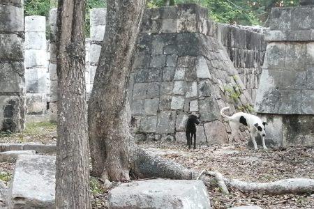 Inicia la segunda etapa de la 'Operación Rescate Perritos de Kukulcán' en Chichén Itzá