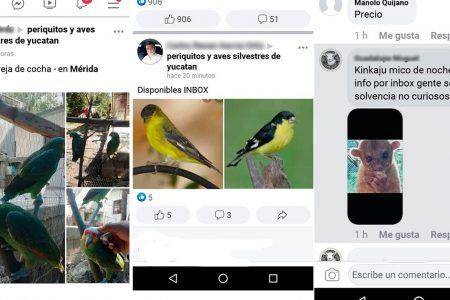 Promueven en redes sociales venta de especies animales protegidas