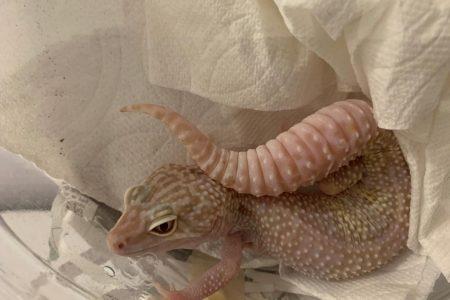 Aseguran dos geckos albinos en el aeropuerto meridano