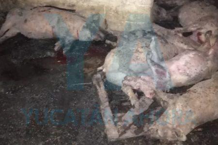 Mueren calcinados 38 cerdos al incendiarse un corral