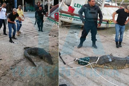 Capturan un cocodrilo en Dzilam Bravo; lo trasladan a Animaya