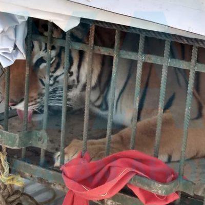 """""""Paseaba"""" por calles de Mérida con un tigre en una camioneta"""