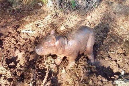 Nuevo huésped en Animaya: nace cría de hipopótamo