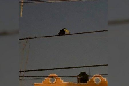 En medio de la cuarentena, avistan un tucán en el norte de Mérida