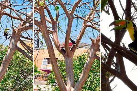 El tucán ya es la mascota de Francisco de Montejo: le dan agua y comida a diario