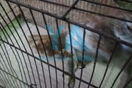 Rescatan una lechuza atrapada en una casa de Komchén