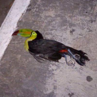 Otro tucán muerto en Mérida, ahora en un parque de Pinos
