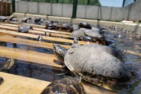 Trasladan 10 mil tortugas terrestres a Chetumal y Mérida