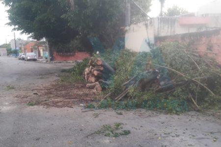 Cae un árbol de laurel de 9 metros en la colonia Esperanza