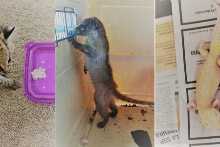 Rescatan en Yucatán 17 animales de varias especies en peligro de extinción