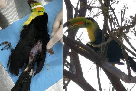 Matan a tiros a tucán que era mascota en Francisco de Montejo y otras zonas del norte de Mérida