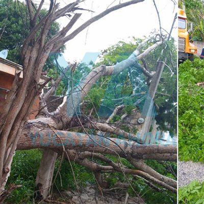 Lluvia y vientos derriban un enorme árbol de Roble