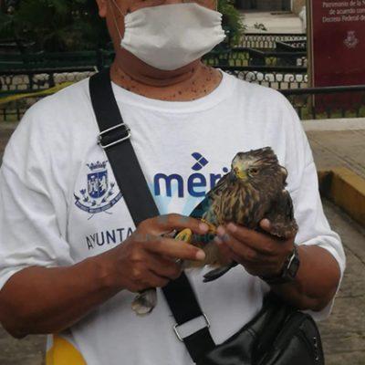 Rescata un gavilán al que otras aves le hacían bullying en el parque de Santiago