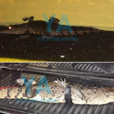 Capturan un cocodrilo que aprovechó la madrugada para pasear en Progreso