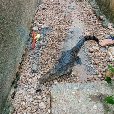 Llovió tanto que su patio en Ciudad Caucel se volvió hogar de un cocodrilo