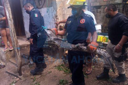 Otro cocodrilo capturado: aparece en casa de un comerciante