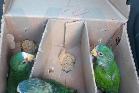 'Cazan' a dos traficantes de aves: trasladaban cinco loros
