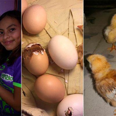 Niña de 12 años construye incubadora y brotan pollitos el día de su cumpleaños
