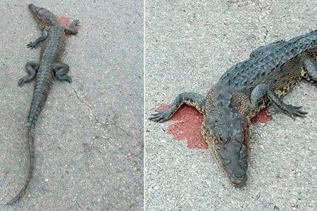 Otro cocodrilo atropellado: exhortan a tener cuidado en las carreteras
