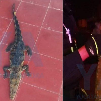 Como la cosecha de mujeres, la captura de cocodrilos tras Cristóbal no se acaba