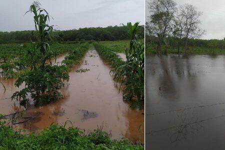 Graves afectaciones a la agricultura: cultivos bajo el agua en el sur de Yucatán