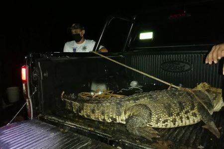Capturan enorme cocodrilo en parcelas del sur de Yucatán
