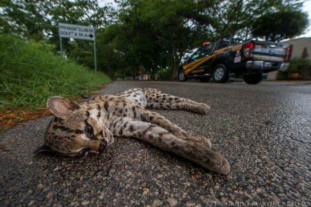 Un tigrillo se acercó a los humanos y murió atropellado