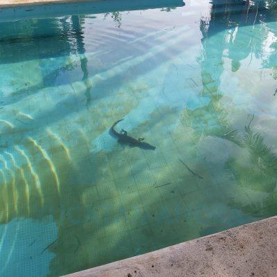 Sale al patio y encuentra un cocodrilo nadando en su piscina