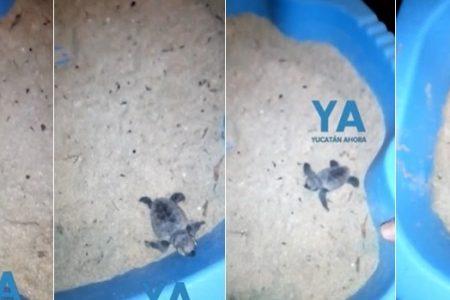 Rescatan pequeña tortuga atorada en el sargazo, en playa de Yucatán