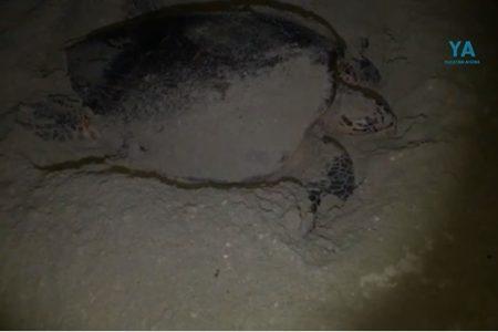 Tortuga con 'maternidad de lujo': desova en el tramo Chicxulub Puerto-Uaymitún
