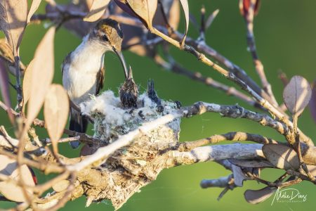 El colibrí tijereta de Yucatán, único en el mundo, pero a punto de extinguirse