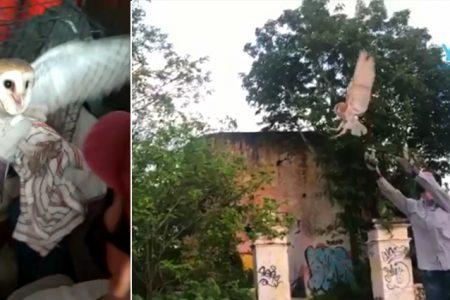 Rescatan, rehabilitan y liberan a una lechuza que quedó atrapada en la red de una palapa