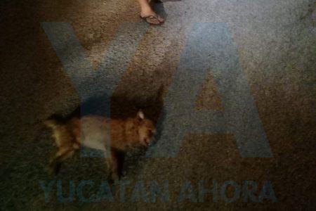 Presunto envenenamiento de cuatro perros en el sur de Mérida