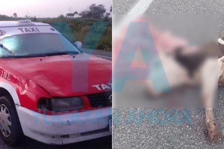 Taxi atropella y mata una vaca en la carretera Tizimín-Mérida