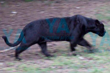 Un gran jaguar negro se pasea en montes de Yucatán