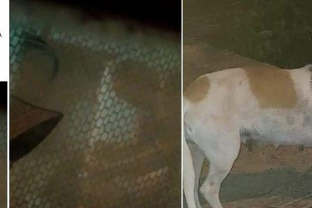 Tekax podría hacer historia en justicia a favor de un perro violentado sexualmente