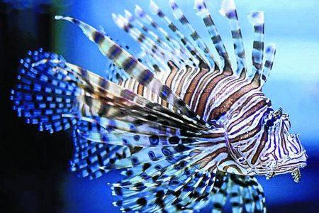 Veneno del pez león, una alternativa para entender mejor el Alzheimer: Cinvestav