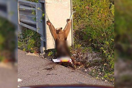 Indignante caso de crueldad animal en Yucatán: hallan oso hormiguero amarrado y torturado