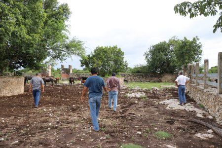 Investigan mortandad de ganado bovino en Motul