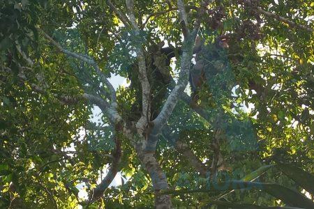 Intenta suicidarse en lo alto de un árbol de huaya