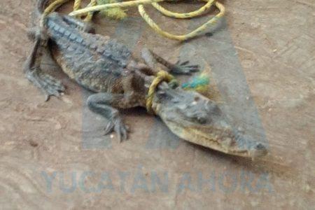 Capturan famélico cocodrilo en una granja de pavos