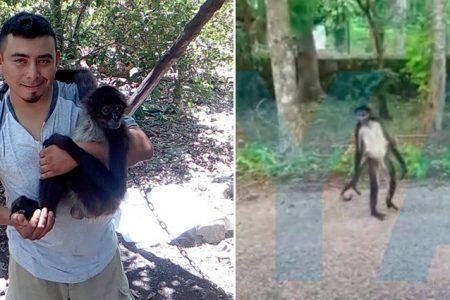 Dijeron que 'Muñeco' estaría en un santuario del mono araña, pero lo soltaron en el monte a su suerte